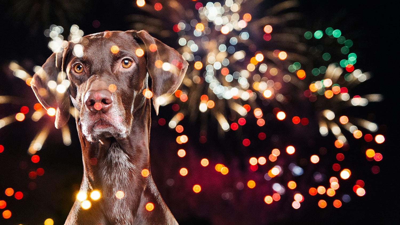 Dog watching fireworks
